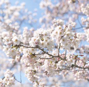 舞夢館横のいたち川べりの桜